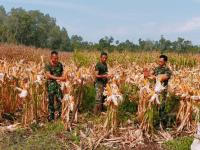 Tingkatkan ketahanan Pangan Anggota Koramil Jungkat dan warga Tanam Jagung