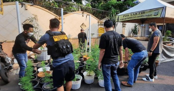 Tanam Ganja di Pot, Sat Narkoba Polres Metro Jakbar Menggerebek Salah Satu Rumah di Wilayah Brebes